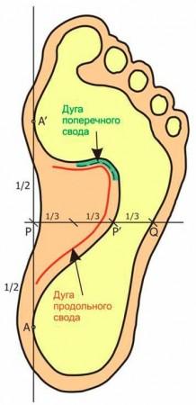 Схема сводов стопы